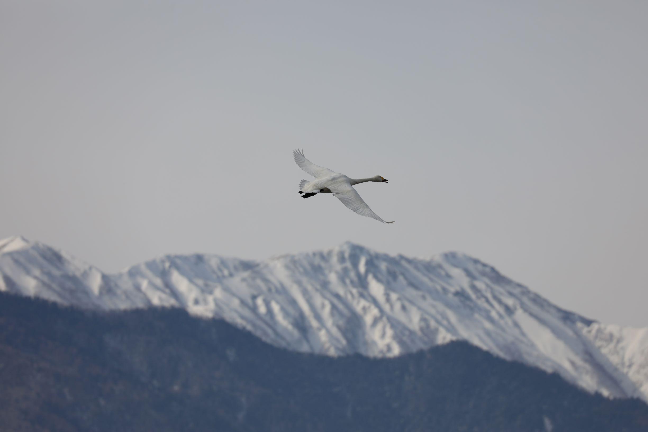 白鳥を撮影しに御宝田遊水池に行ったらカワセミに出会えたという話