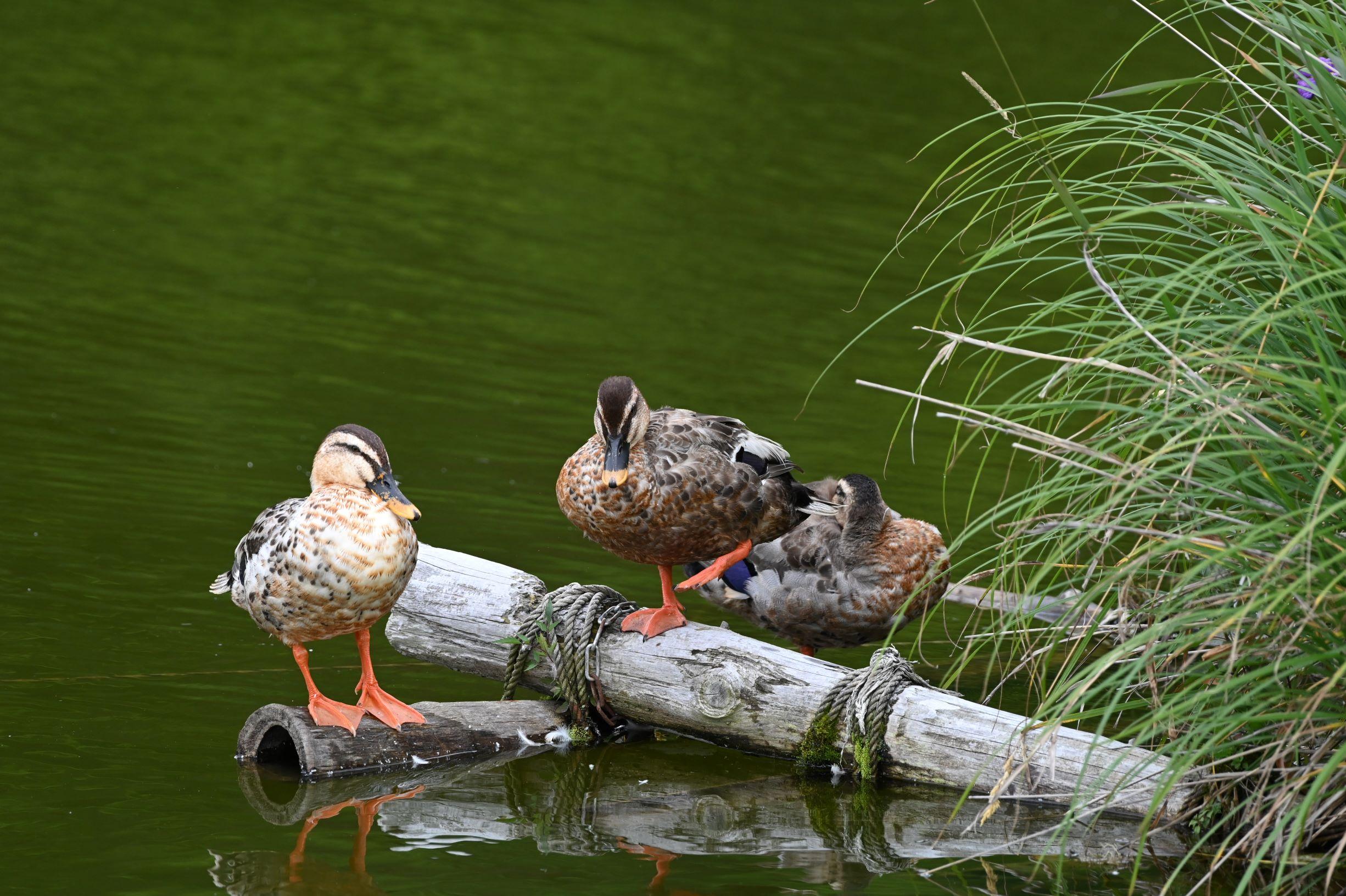 ニコン Z6で撮影した千鹿頭池の野鳥とカワセミの飛来について