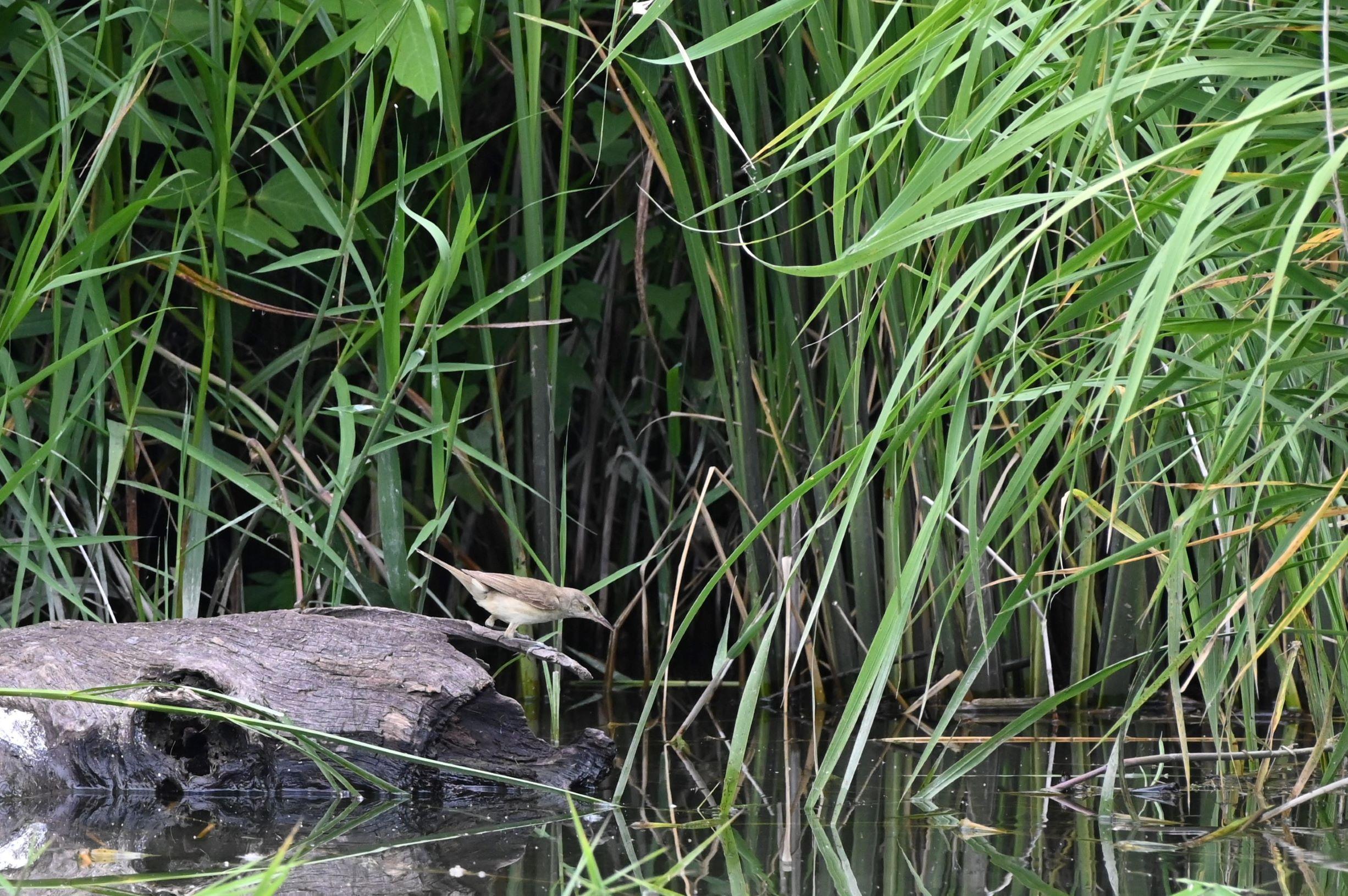 信州安曇野 7月の御宝田遊水池 Z6で撮影した野鳥を紹介