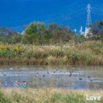 信州安曇野の白鳥撮影スポット「御宝田遊水池」と「白鳥湖」を紹介