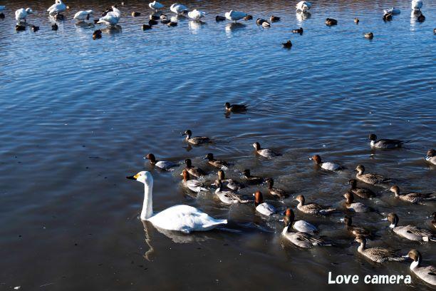 御宝田遊水池で白鳥とアルプスを一緒に撮る最適なレンズは何がいいのか